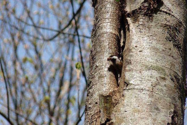 Photograph: Sharron R. McMillan  - chestnut-backed chickadee