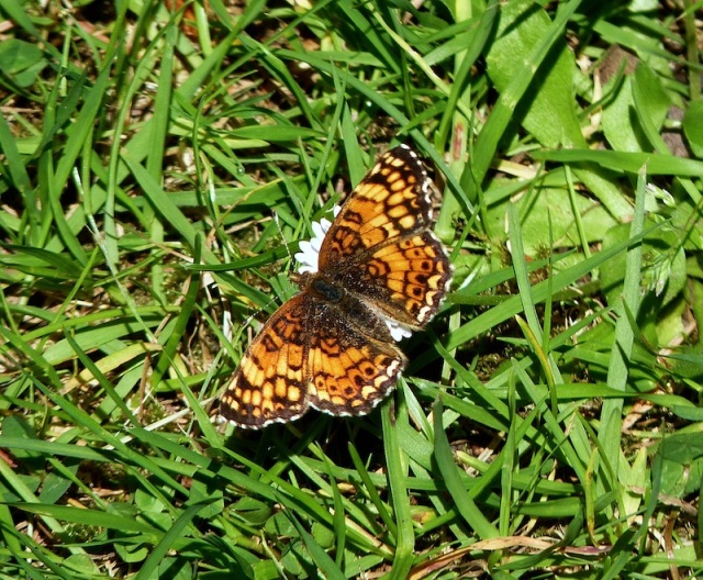 Photograph: Sharron R. McMillan   (Field Crescent Butterfly)