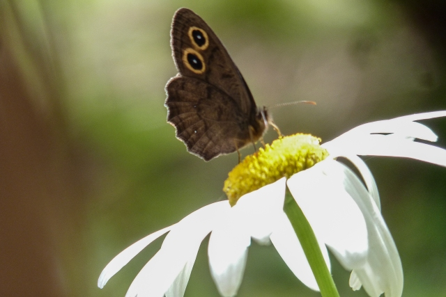 Photograph: Sharron R. McMillan    Butterfly Common Wood-nymph