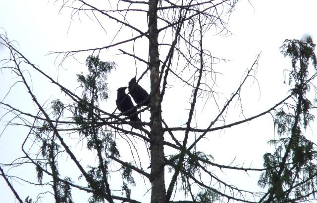 Raven parents taking a break from feeding their babies.   Photo: Sharron R. McMillan