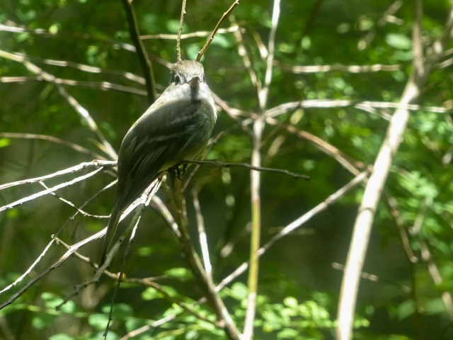 Photograph: Sharron R. McMillan Warbling vireo sings to his own reflection in the window every day almost all day.