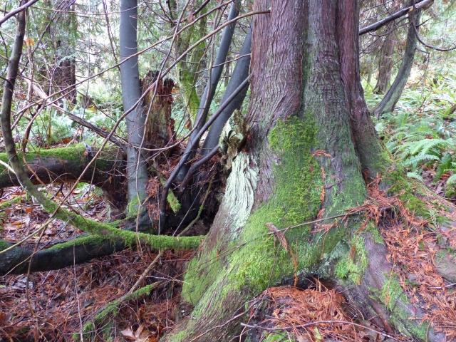 our cedar 4