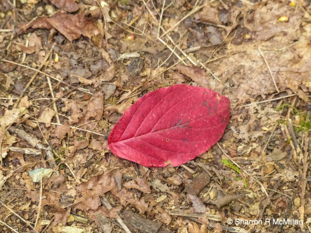 Red leaf on path