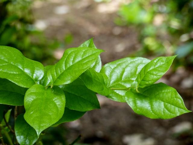 salal-leaves